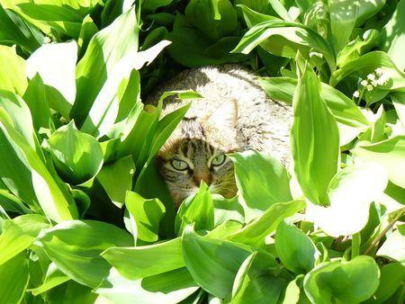 le chat dans le muguet