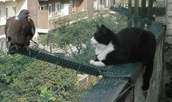 le chat et le pigeon